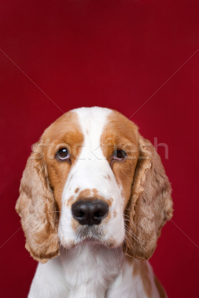 Cocker Spaniel series. Stock photo © Pietus