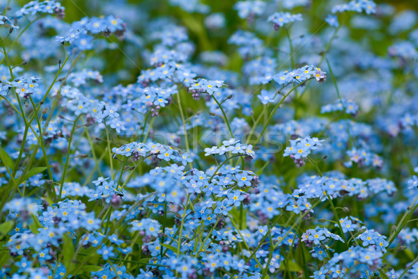 Stock photo: Forget-me-not.