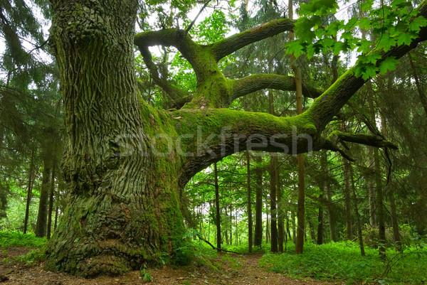 Mighty oak. Stock photo © Pietus