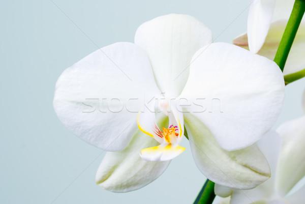 Orchidee bloem witte bloemen ondiep tropische Stockfoto © Pietus
