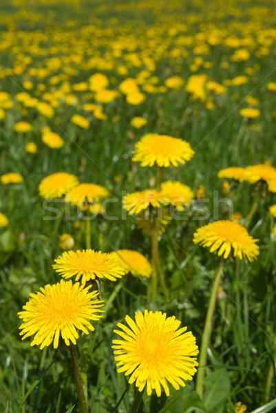 Dientes de león campo flores de primavera hierba naturaleza verde Foto stock © Pietus