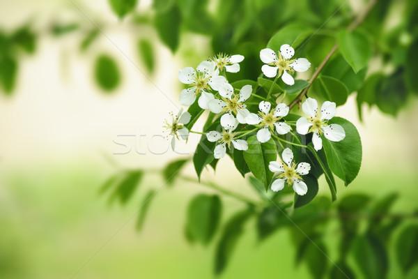 Peer bloemen witte bloemen vers groene voorjaar Stockfoto © Pietus