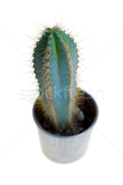 Cactus in pot. Stock photo © Pietus