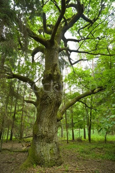 Eski meşe orman ahşap yaprak Stok fotoğraf © Pietus