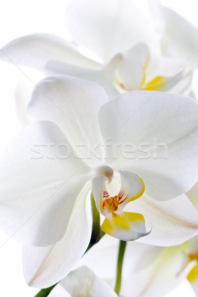 Orchidee bloemen geïsoleerd witte abstract natuur Stockfoto © Pietus