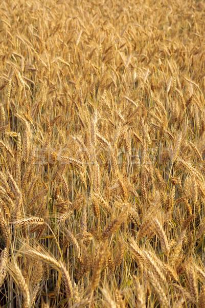 穀物 ハイブリッド 小麦 ライ麦 食品 フィールド ストックフォト © Pietus