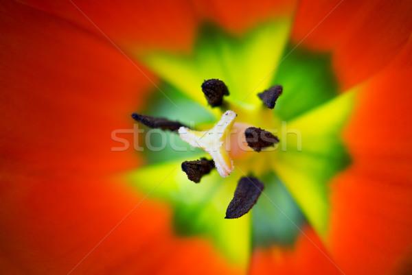Tulipán macro flor superficial campo enfoque Foto stock © Pietus