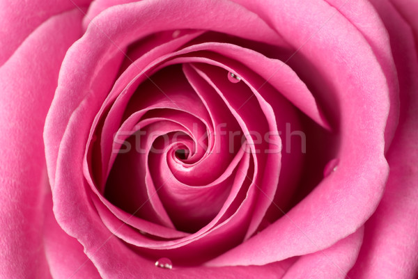 Pink rose detail. Stock photo © Pietus