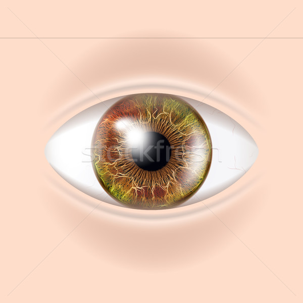 Human Eye Vector. Visual Examination. Body Check. Realistic Anatomy Illustration Stock photo © pikepicture
