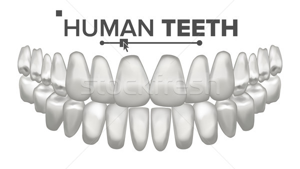 Tooth Mouth Anatomy Vector. Human Teeth. Healthy White Teeth. Dentistry Medical Concept. 3D Realisti Stock photo © pikepicture