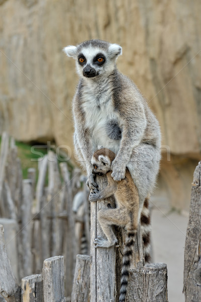Madagascar's ring-tailed lemur  with the small cub on a back. Stock photo © Pilgrimego
