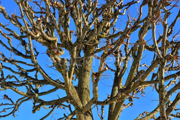 Top зима дерево листьев небе Сток-фото © Pilgrimego