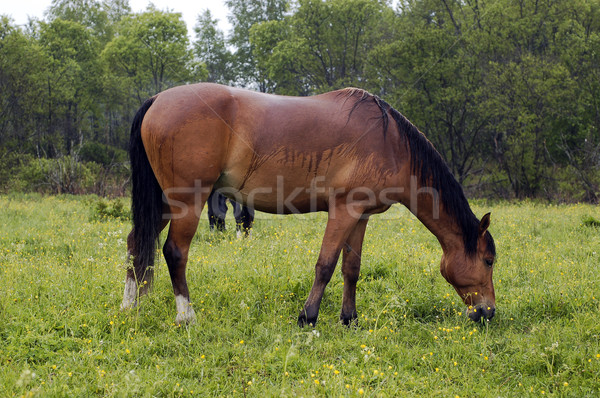Stock photo: The brown horse on the field