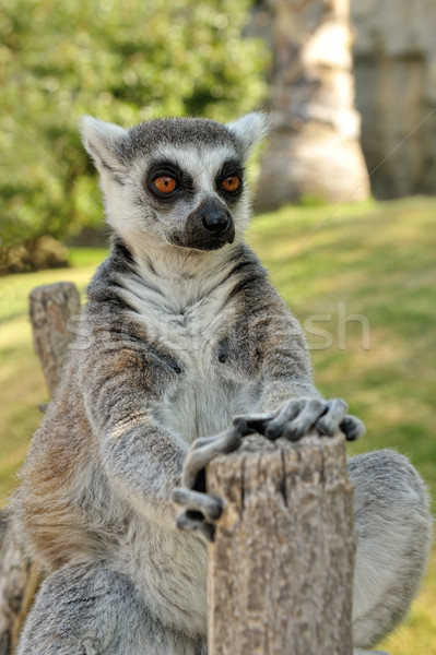Stock photo: Madagascar's ring-tailed lemur sitting in funny pose outdoors.