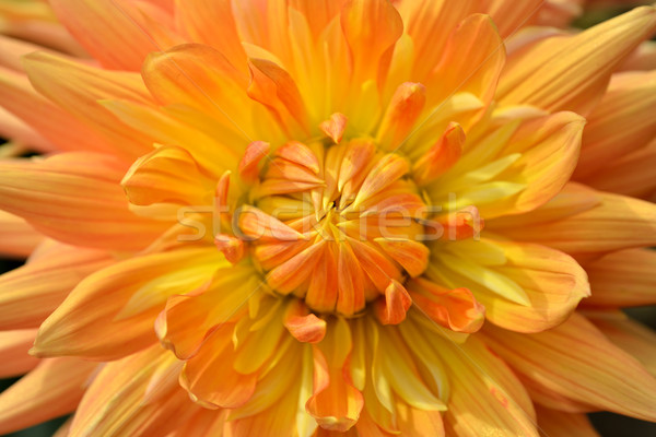 Stok fotoğraf: Dalya · yaprakları · büyük · güzel · çiçek
