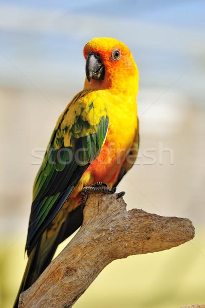 熱帯 黄色 オウム 緑 翼 座って ストックフォト © Pilgrimego