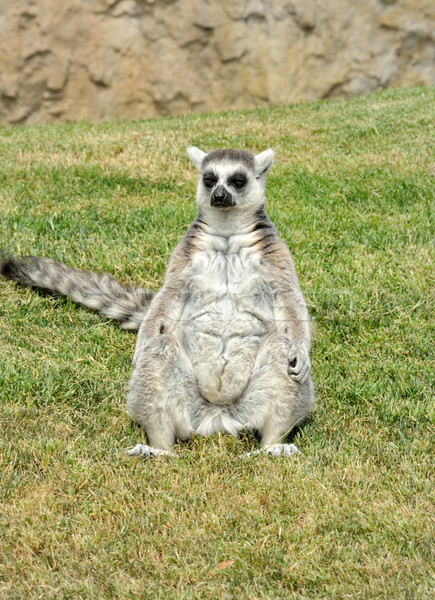 Madagascar's ring-tailed lemur sitting in funny pose on the gras Stock photo © Pilgrimego