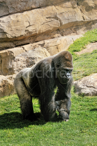 Big male gorilla on the nature Stock photo © Pilgrimego