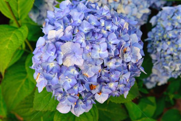 Kék virágzó természet napfény virágok fű Stock fotó © Pilgrimego