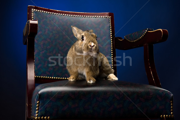Stock photo: Rabbit on the chair