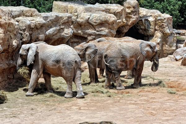 Elefante africano natureza lago animais parque ambiente Foto stock © Pilgrimego