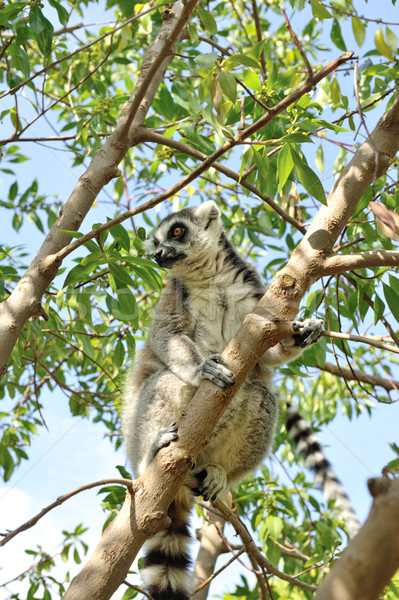 Madagascar's Ring-tailed lemur sitting on the tree. Stock photo © Pilgrimego