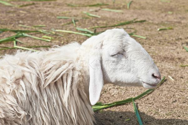 álmos birka farm fű háttér alszik Stock fotó © pinkblue