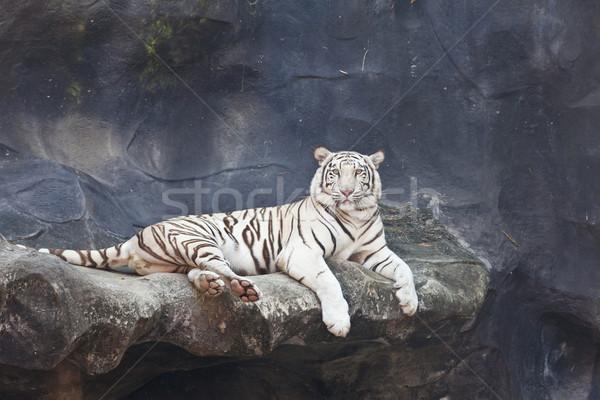 Beyaz kaplan kaya hayvanat bahçesi orman dinlenmek Stok fotoğraf © pinkblue