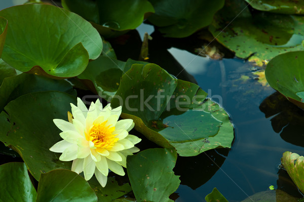 beautiful blossom yellow lotus with yellow pollen Stock photo © pinkblue