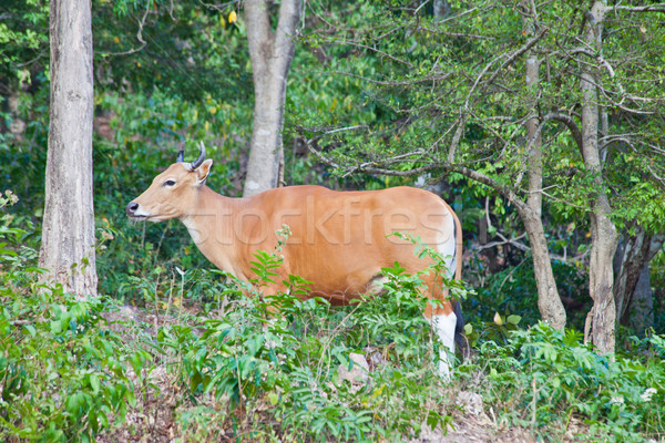 Banteng or Red Bull Stock photo © pinkblue