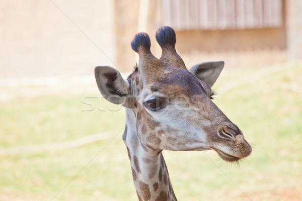 Portre meraklı zürafa göz mutlu saç Stok fotoğraf © pinkblue