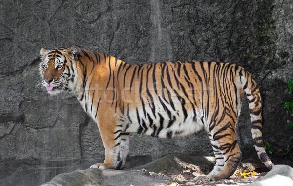 тигр зоопарке кошки тело оранжевый животного Сток-фото © pinkblue