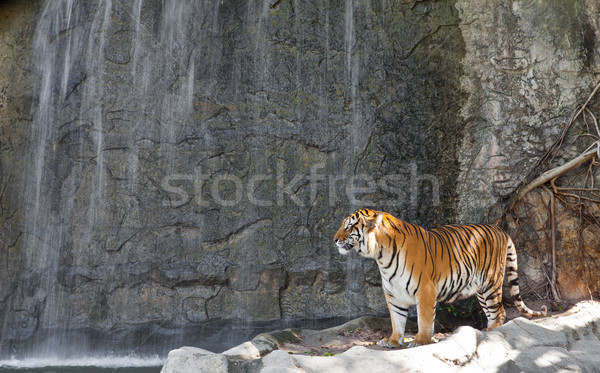 Tygrys wodospad zoo ciało pomarańczowy głowie Zdjęcia stock © pinkblue