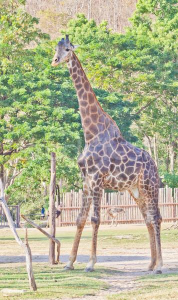 Zsiráf állatkert természet park bika szafari Stock fotó © pinkblue
