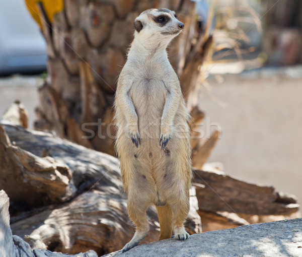 Meerkat Stock photo © pinkblue