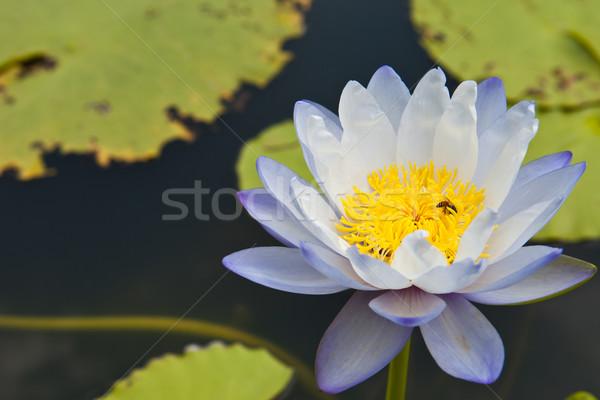 Gyönyörű virág fehér lótusz méh citromsárga Stock fotó © pinkblue