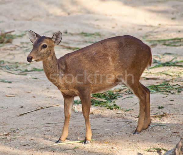 Eld's Deer Stock photo © pinkblue