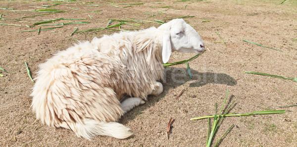 Senny owiec gospodarstwa trawy tle spać Zdjęcia stock © pinkblue