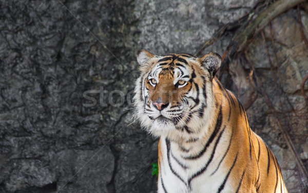 Siberian Tiger in a zoo  Stock photo © pinkblue
