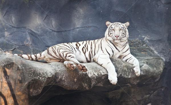 Blanco tigre rock zoológico gato oscuro Foto stock © pinkblue