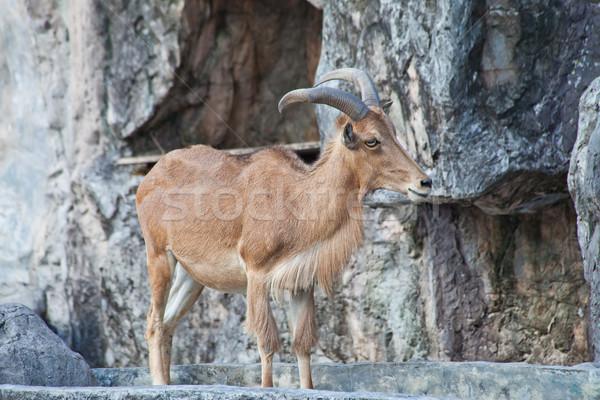 barbary sheep Stock photo © pinkblue