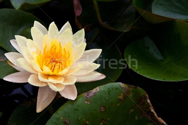 Bella fiore giallo Lotus polline goccia d'acqua Foto d'archivio © pinkblue