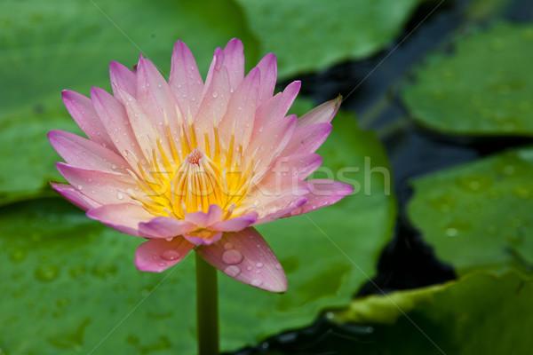 Gyönyörű virág rózsaszín lótusz citromsárga virágpor Stock fotó © pinkblue