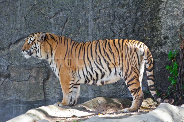 Siberian Tiger in a zoo Stock photo © pinkblue