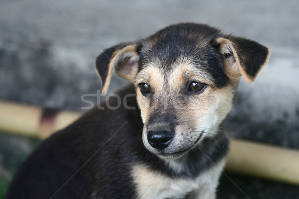 Inattentive Thai Puppy Stock photo © pinkblue