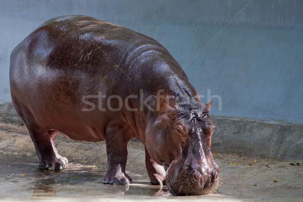Nijlpaard dierentuin witte permanente safari Stockfoto © pinkblue
