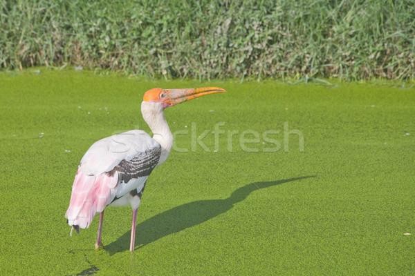 Festett gólya zöld mocsár víz fű Stock fotó © pinkblue
