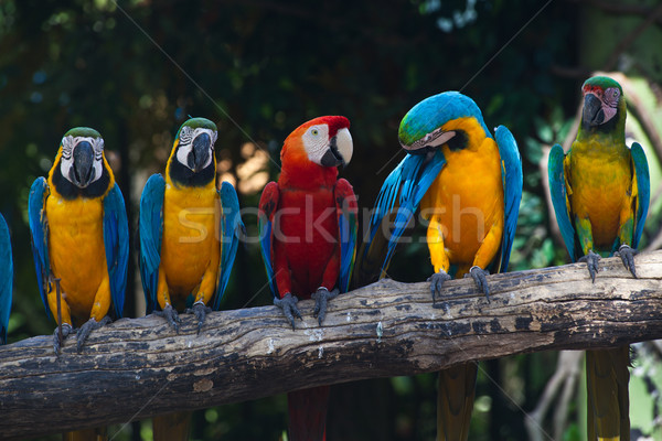 Colorful Macaw Stock photo © pinkblue