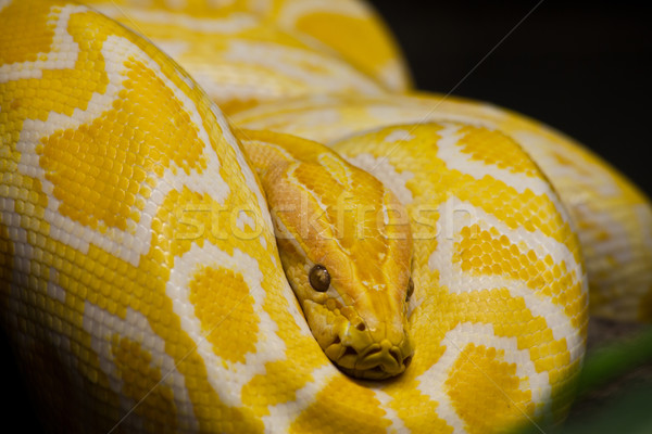 Or thai python accent yeux Photo stock © pinkblue