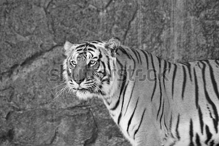Close up Siberian Tiger in a zoo in black and white Stock photo © pinkblue